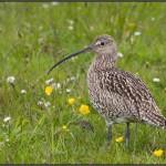 Oiseau limicole, le Courlis Cendré est facilement reconnaissable à son long bec incurvé