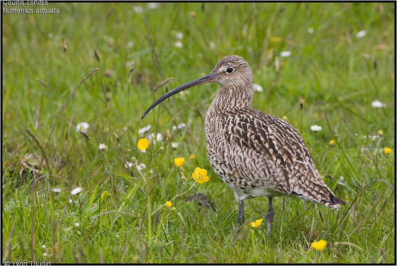 Le courlis cendr est de retour sur la vall e de la largue for Oiseau a long bec