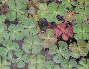 La Marsilée à quatre feuilles est une fougère présente dans plusieurs étangs du Sundgau dont ls berges sonten pente douce