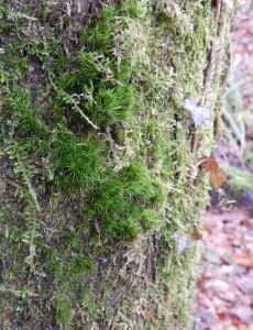 Dicrane vert dans le site Natura 2000 Vallée de la Largue