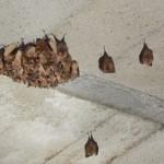 Petit-rhinolophe à Oberlarg