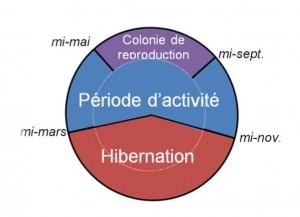 Cycle de vie des chauves-souris