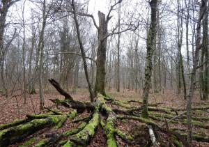 La présence de bois mort sur pied et au sol est favorable aux chauves-souris